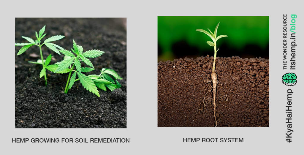 The plant's taproot system is good for the soil.